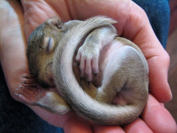 Baby Gray Squirrel - Free image #278155
