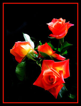Fantastic Roses - Free image #278165