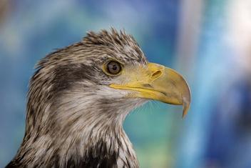 American Bald Eagle - image gratuit #278295
