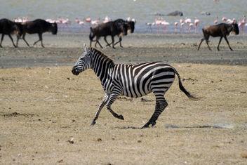 Zebra - Free image #278385