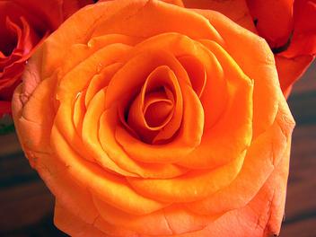 Rose - Kostenloses image #278595