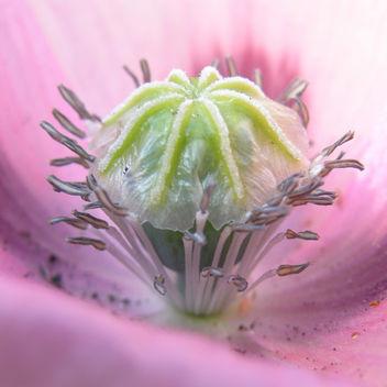 pavot / poppy 4 - Free image #278645