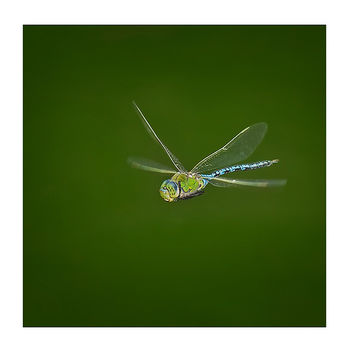 Anax in Flight II - бесплатный image #278685