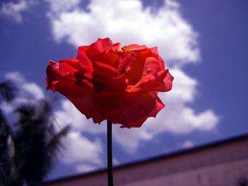 Rose - image gratuit #278715