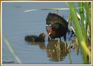 madres e hijos, polla de agua alimentando a su polluelo - mom moorhen feeding their chick - image #278735 gratis