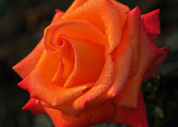 Orange Glory - Free image #279035