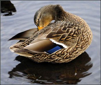 Female Mallard (1 of 3) - Free image #279315