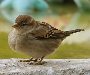 Sparrow... - image gratuit #279345