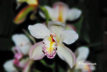 Cymbidium Orchid - Kostenloses image #279365