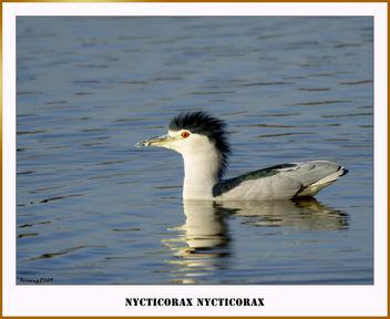 Martinet de nit 04 - Martinete - Night heron - Free image #279405