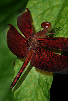 My favorite insect, Red Dragonfly - image #279435 gratis