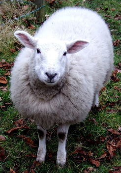 Happy Sheep - Free image #279555