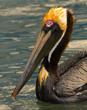 Pelican Punk 'Do - image gratuit #279655