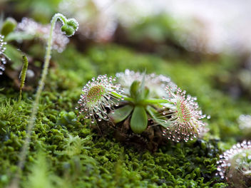 Another Sundew - image #279705 gratis