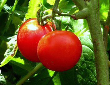 Tomatoes - Free image #280365