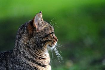 Profile feline ... - Free image #280385