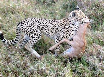 Cheetah Kill ! - Free image #280405
