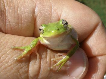 Tree Frog - Free image #280435