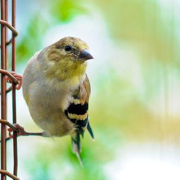 goldfinch bokeh - image #280545 gratis