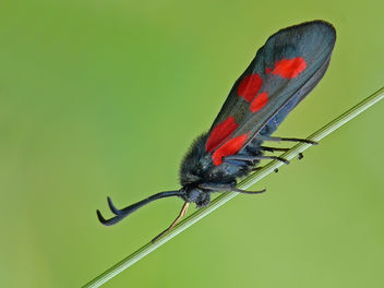Narrow-Bordered Five-Spot Burnet - image gratuit #280745