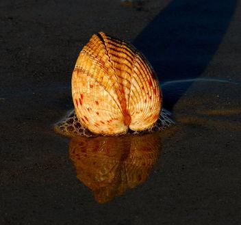 Giant Atlantic Cockle ( Dinocardium robustum ) - image #280905 gratis