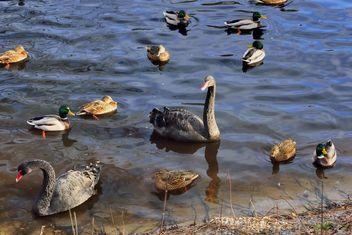 Black swans - Free image #280955
