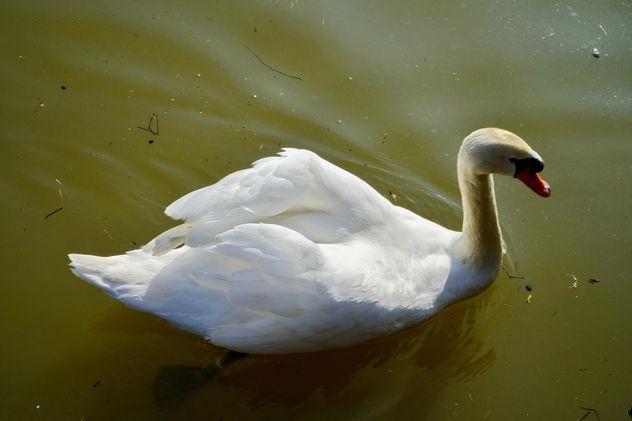 White swan - Free image #280975