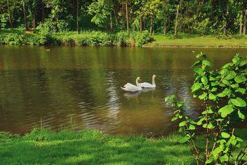 White swans - image #280985 gratis