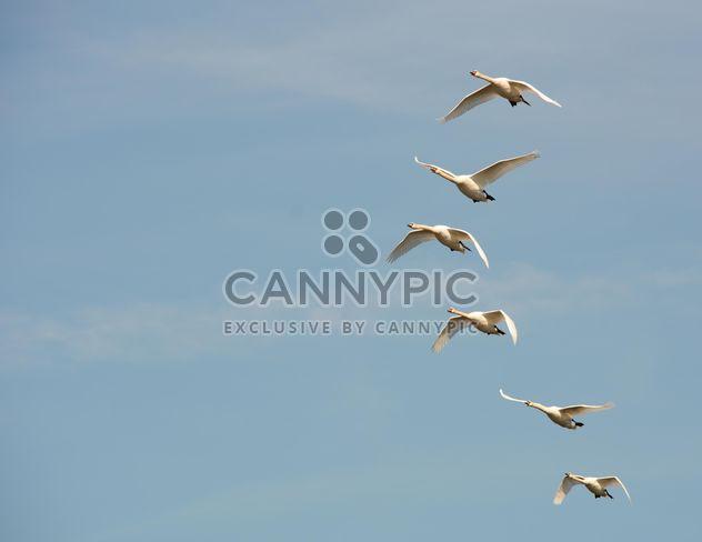 Cisnes brancos voando - Free image #280995