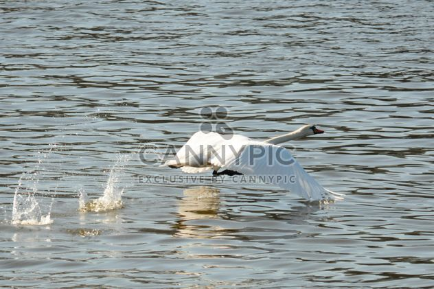 Лебедь на озере - бесплатный image #281005