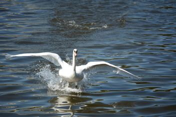 Swan on the lake - image #281035 gratis