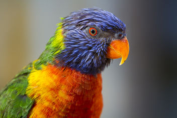 Rainbow Lorikeet at San Antonio Zoo - бесплатный image #281395
