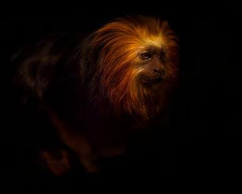 Golden LionTamarin - image gratuit #281585