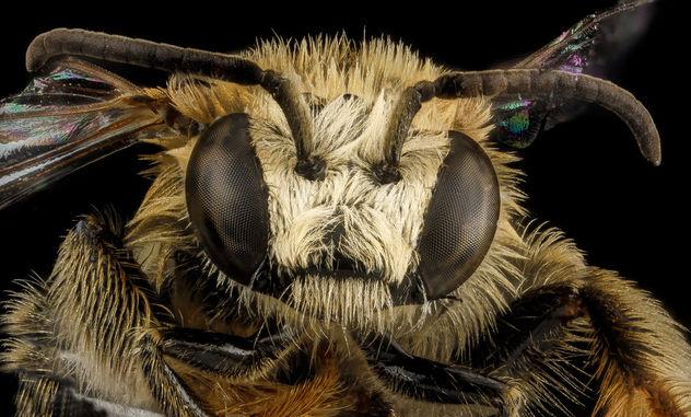 Exomalopsis analis, M, face, Dominican Republic, La Ve_2012-12-11-14.37.39 ZS PMax - Free image #281645