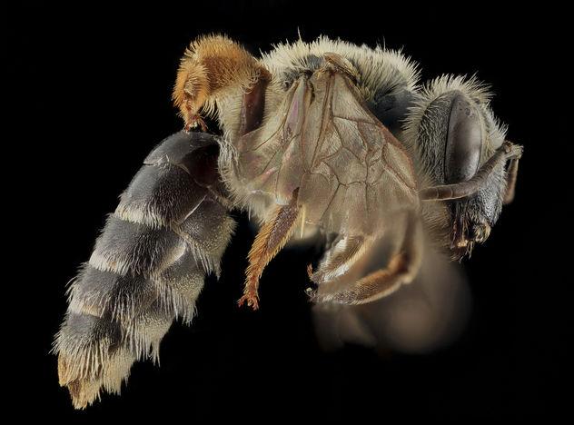 Andrena cragini, F, Side, Pennington Co, SD_2013-12-11-11.26.06 ZS PMax - Free image #282315