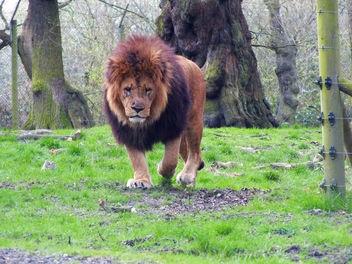 Lion! - image gratuit #282605
