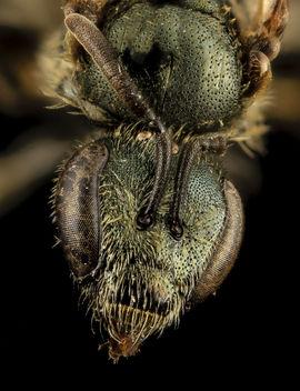 Lasioglossum admirandum, F, Face, WI, Eau Claire County_2014-03-11-18.18.15 ZS PMax - image #282745 gratis
