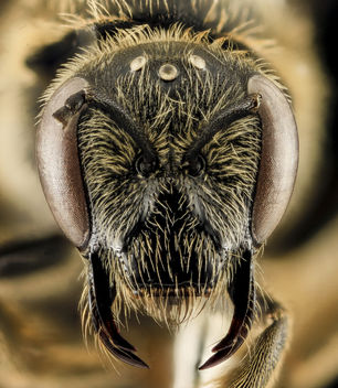 Lasioglossum coriaceum, F, Face, IN, Porter County_2014-04-11-16.30.46 ZS PMax - бесплатный image #282805