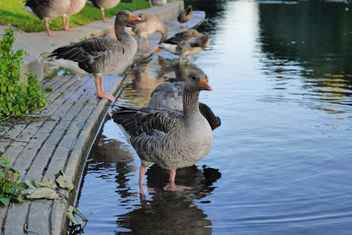 Geese - image gratuit #283205