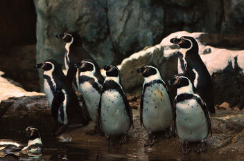 Humbolt Penguin Family Portrait - бесплатный image #283535