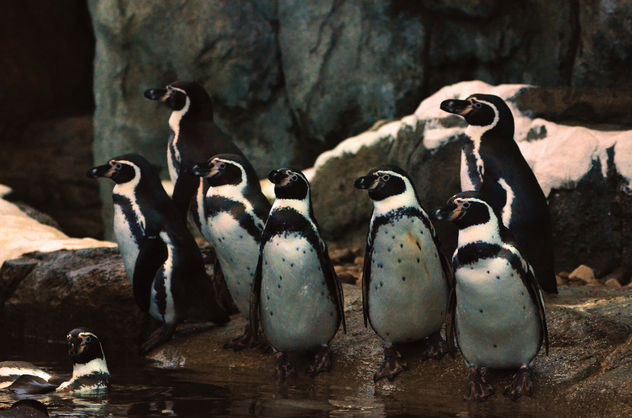 Humbolt Penguin Family Portrait - бесплатный image #283535
