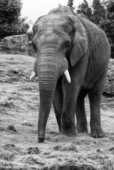 Elephant - Free image #283565