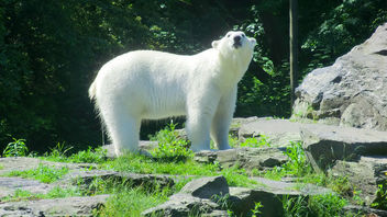 Berlin: Polar Bear, Tierpark Friedrichsfelde - Kostenloses image #283595