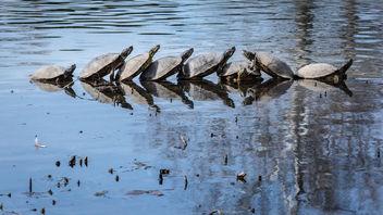 Turtle Conga Line - Kostenloses image #283615