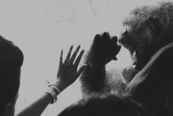 Gorilla in captivity, Como Park, Minnesota - Free image #283995