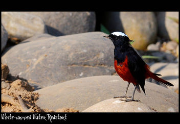 White-Capped Water-Redstart - бесплатный image #284085