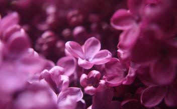 lilac - image #284195 gratis