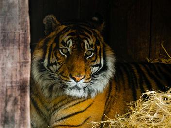 Tiger - Free image #284295