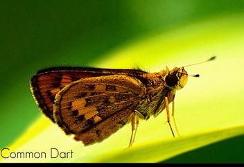 Common Dart - Free image #284315