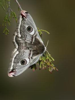 Small Emperor moth - image #284435 gratis